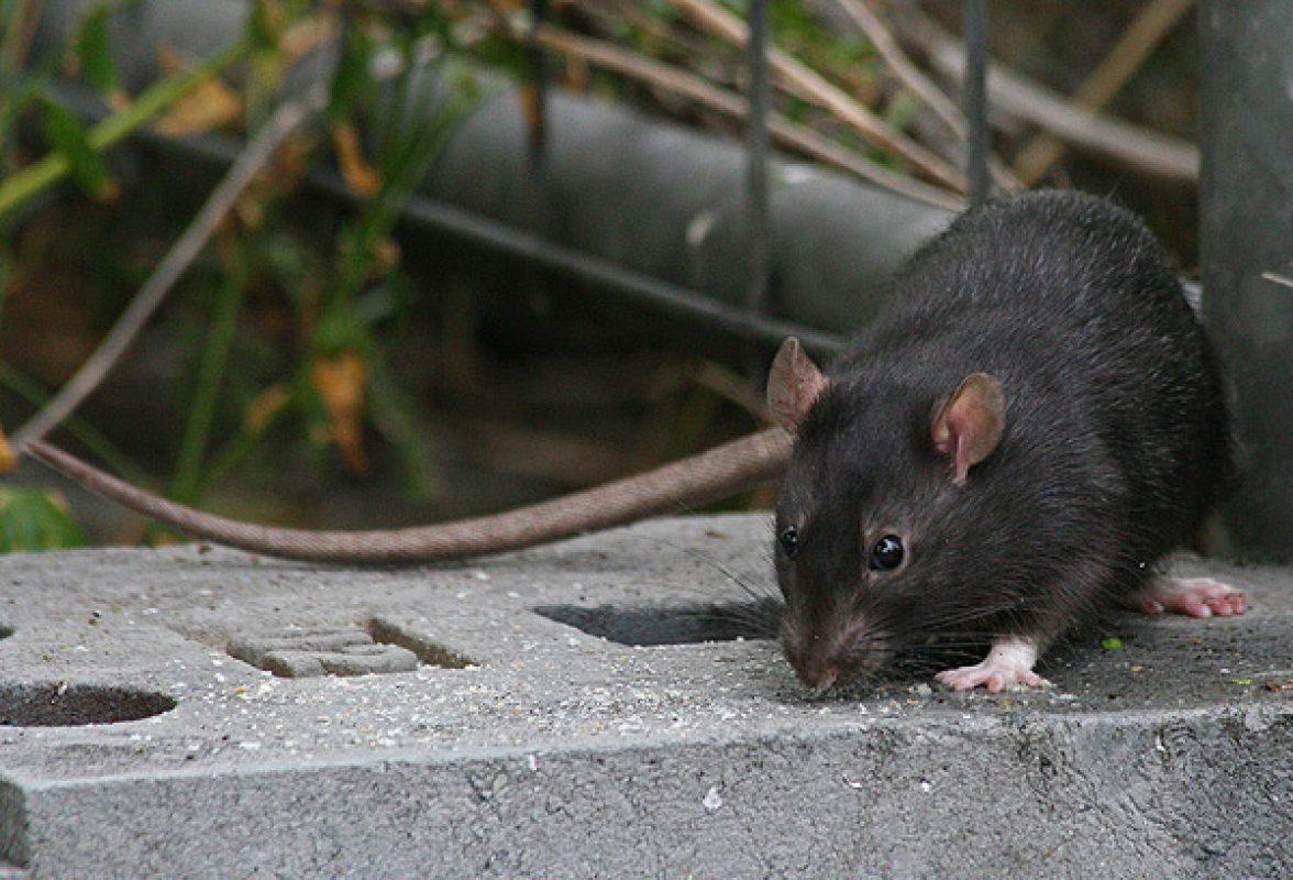 eco-roma-disinfestazioni-topi-ratto-nero