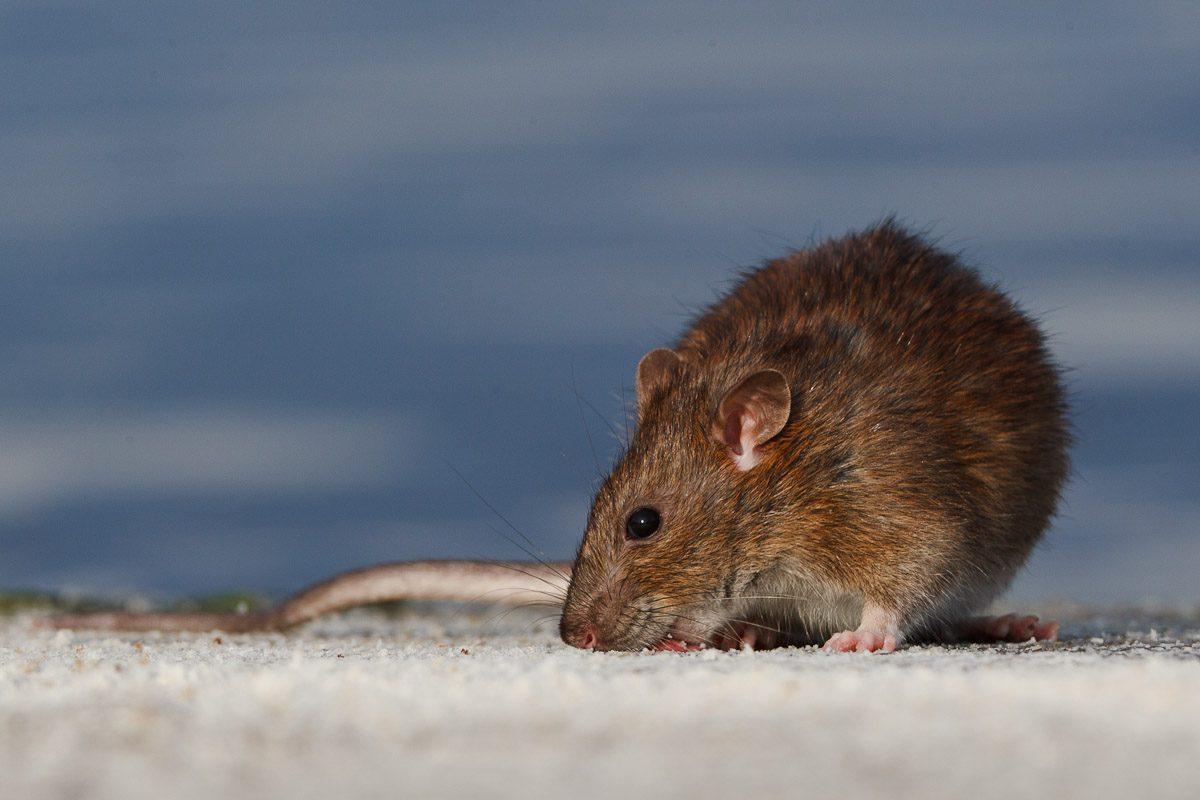 eco-roma-disinfestazioni-topi-surmolotto-rattus-norvegicus